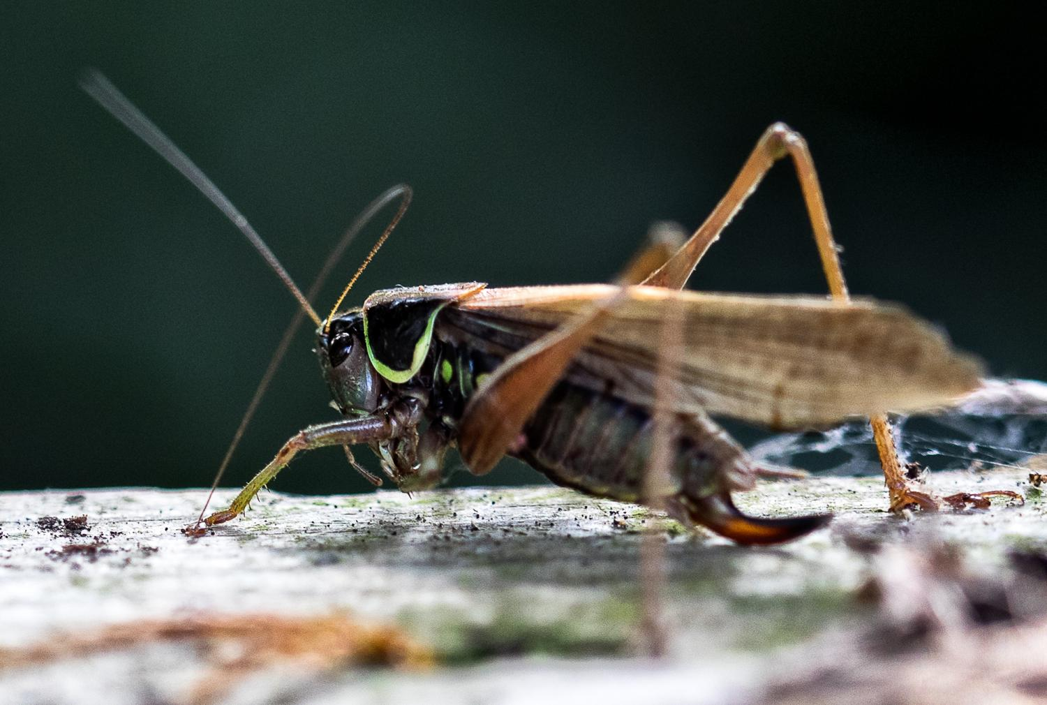 Female Roesel's bush-cricket